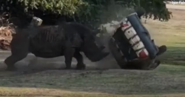 Wciekły nosorożec w niemieckim parku safari. Rzucił się na samochód strażnika