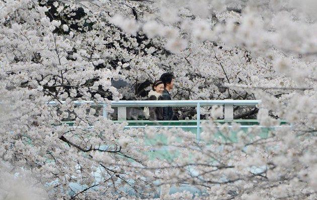 Sakura zensen - Wiśniowy Front