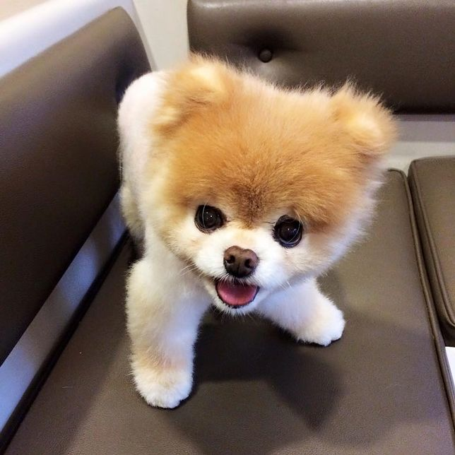 Boo był określany jako zwierzęca gwiazda mediów społecznościowych