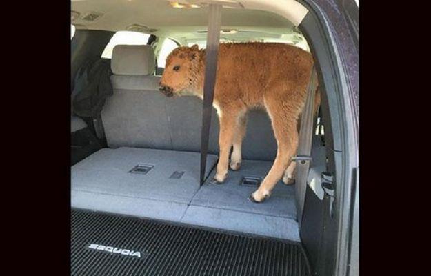"""Próbowali pomóc małemu bizonowi, bo wyglądało """"jakby było mu zimno"""". Zwierzaka trzeba było uśpić"""