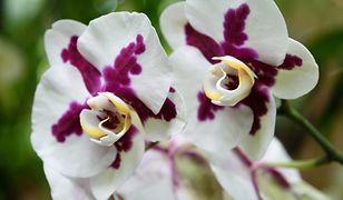 Najpiękniejsze rośliny doniczkowe: storczyki. Co robić, by pięknie i długo kwitły?