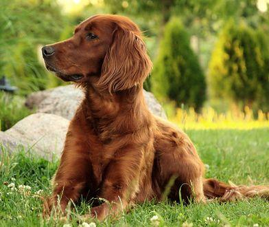 Właścicielka dostała płatny urlop, aby zaopiekować się chorym psem