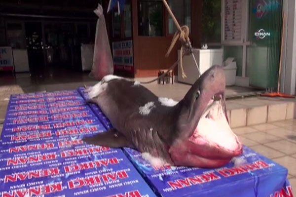 Zastawili sieci na tuńczyka, złowili prawdziwego potwora