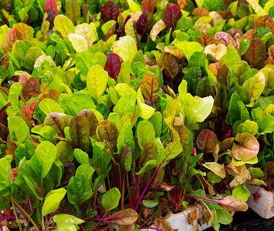 Liście mangoldu – jak je wykorzystać w kuchni