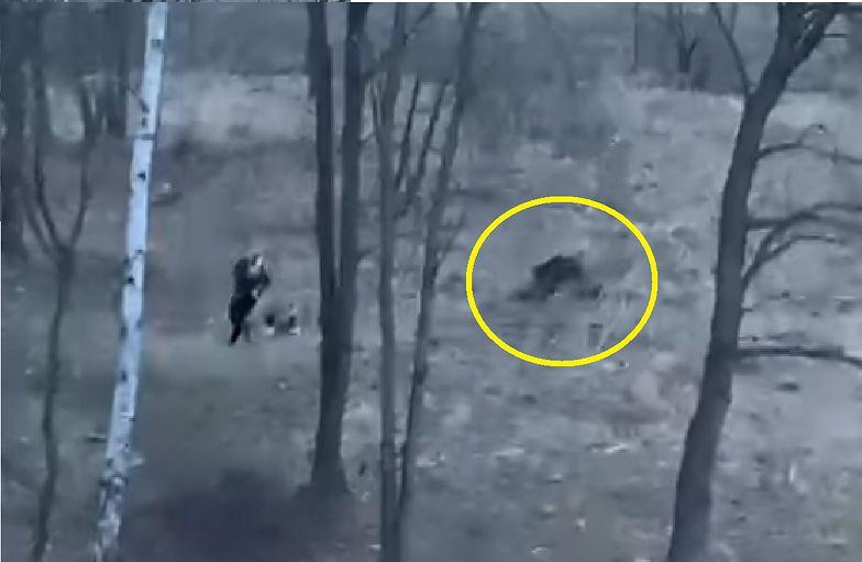 Poranny spacer z psem w Krakowie zamienił się w jogging z dzikiem [WIDEO]