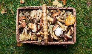 Grzybobranie to polski sport narodowy. Bardzo lubimy zbierać grzyby, ale trzeba być ostrożnym i wkładać do koszyka tylko te okazy, które znamy.
