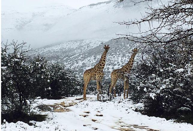 Zima w Afryce. Żyrafy na tle śnieżnego krajobrazu!