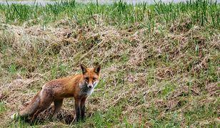 Mazowieckie. Kolejny lis z wścieklizną. To już siódmy przypadek