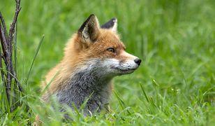 Mazowieckie. Kolejna akcja szczepienia lisów. Trzeba uważać na zwierzęta domowe