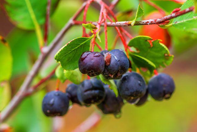 Polska jest tym samym największym wytwórcą aronii i eksporterem półproduktów z tego owocu na świecie.