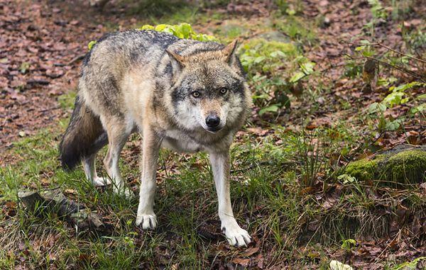 Pod Ciechanowem pojawiły się wilki