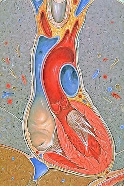 Atlas anatomiczny - serce i płuca
