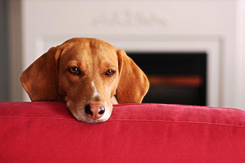 Uczulenie na sierść - pies w domu