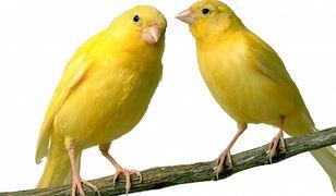 Walczą na małe ptaszki!