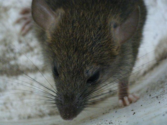 Szczury w centrum miasta atakują ludzi. Mamy nagranie