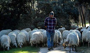 """Do """"koszenia"""" parku zatrudniono owce z hiszpańskiej rasy, zagrożonej wyginięciem - Rubia del Molar"""