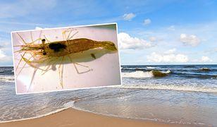Krewetkę bałtycką można spotkać na polskim wybrzeżu