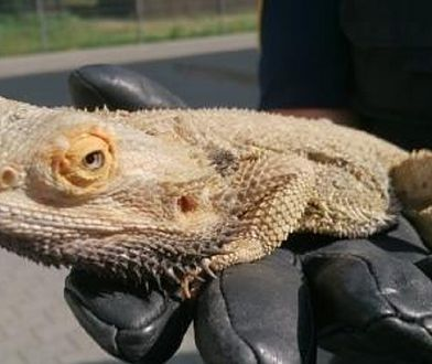 Egzotyczna jaszczurka na trawniku w Ursusie