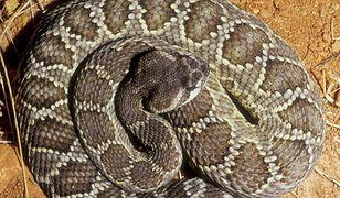 Małopolska. Ostrzeżenie przed groźnym wężem
