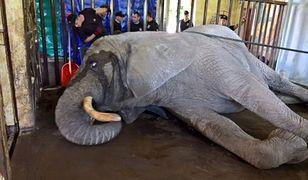 Akcja strażaków w zoo. Dwa zastępy przyjechały do słonia