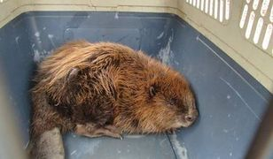 Uratowali rannego bobra