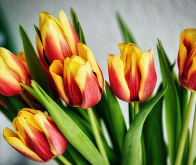 Żeby tulipany stały jak najdłużej, należy zastosować kilka sztuczek