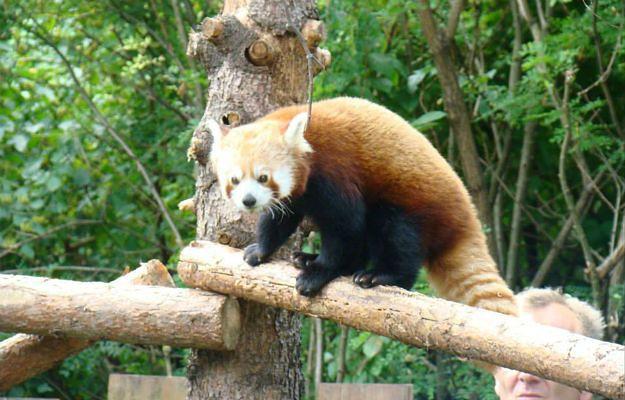 Dwie pandy czerwone trafiły do Śląskiego Ogrodu Zoologicznego w Chorzowie
