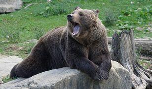 Niedźwiedź zaatakował dwóch mężczyzn. Pięściarz nie miał dla niego litości