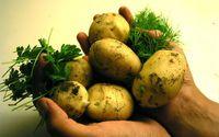Rewolucja w uprawie ziemniaków. Można je podlewać soloną wodą!