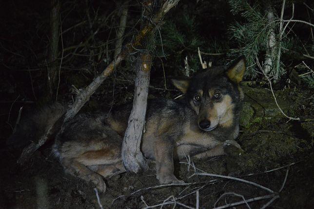 Wilk w sidłach kłusowników. Dzięki współpracy wielu służb udało się uratować ranne zwierzę