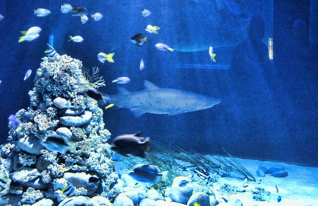 Kiedy karmienie rekina?