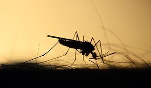 USA. Genetycznie zmodyfikowane komary wypuszczone na Florydzie. Mają specjalne zadanie