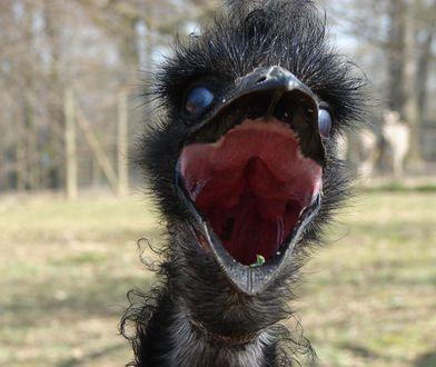 Australia wypowiedziała wojnę ptakom Emu