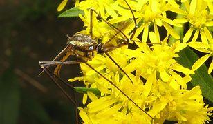 Komar - gigant (Toxorhynchites)