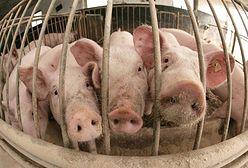 Skażona niemiecka wieprzowina trafiła do Polski