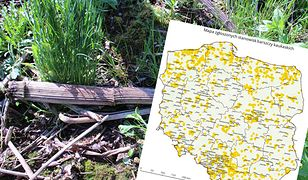 Barszcze kaukaskie są nie tylko roślinami inwazyjnymi i niezwykle trudnymi do zwalczania, ale też stanowią zagrożenie dla ludzi.