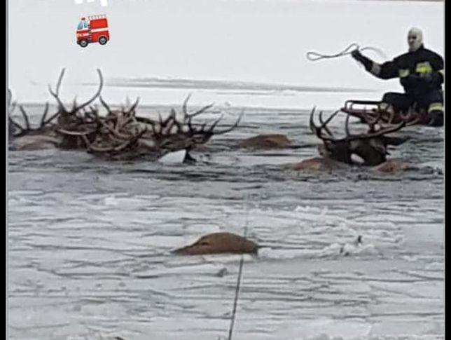 Zachodniopomorskie. Pod stadem jeleni załamał się lód