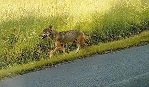 Wilk, który zaatakował w Bieszczadach, mógł być przetrzymywany przez człowieka