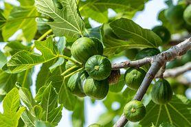 Wyciąg z kory figowej i jego właściwości łagodzące ból