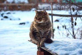 Kot syberyjski - wygląd, charakter, pielęgnacja, choroby