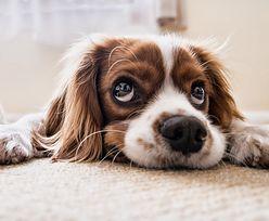 Nigdy nie karm tym psa. Popularne produkty, od których zachoruje lub umrze