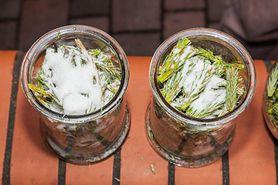 Syrop sosnowy - właściwości, przepis, nalewka z młodych pędów sosny
