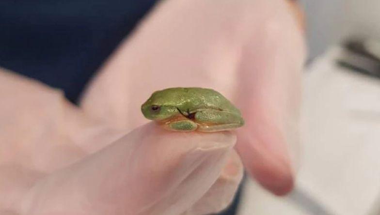 Najmniejsza pacjentka w historii. Weterynarz uratowała życie maleńkiej żabce