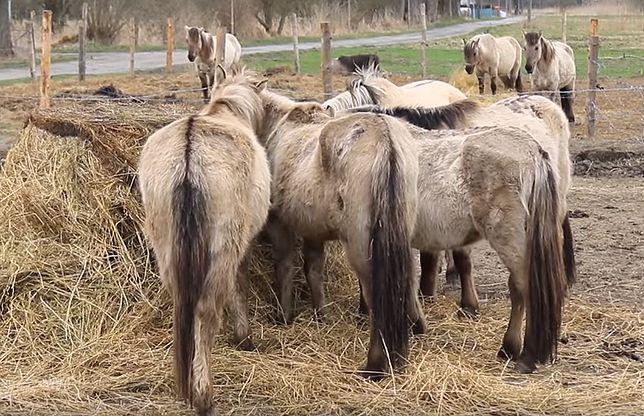 Świnoujście. Stado zaniedbanych koni wraca do właściciela. Władze nie zgadzają się z tą decyzją