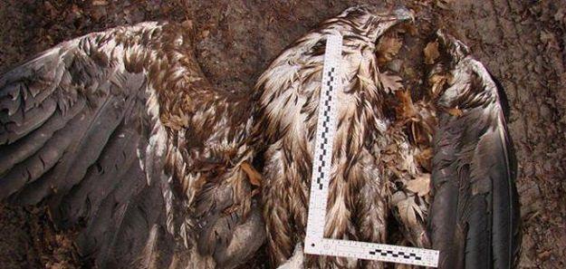 Cztery orły bieliki otrute