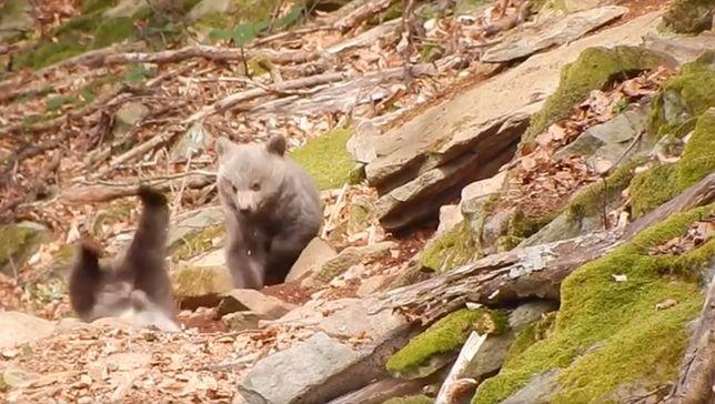 Niedźwiadki w Bieszczadach harcują i robią furorę w internecie