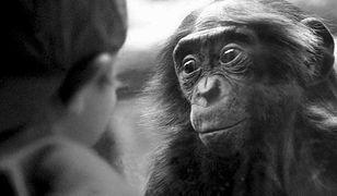 Naczelne rodem z kamasutry. Oto bonobo