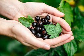 Czarna porzeczka - wartości odżywcze, wpływ na zdrowie, zastosowanie w kosmetyce i kuchni