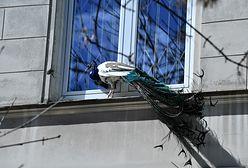 Zagubiony paw. Nietypowy gość w centrum Warszawy