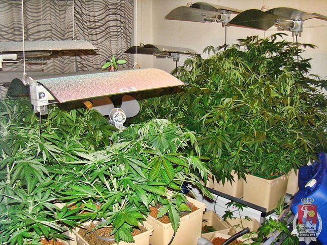 Uprawiał marihuanę w wynajmowanym mieszkaniu